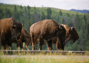 Wildlife Viewing in Yellowstone